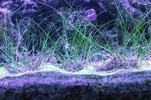 (AQUACULTURE NURSERY FARMS Sea Grass Saltwater Sea Grass for Aquarium Reef Tanks. Provide a Home for Copepods, Amphipods and Shrimp)