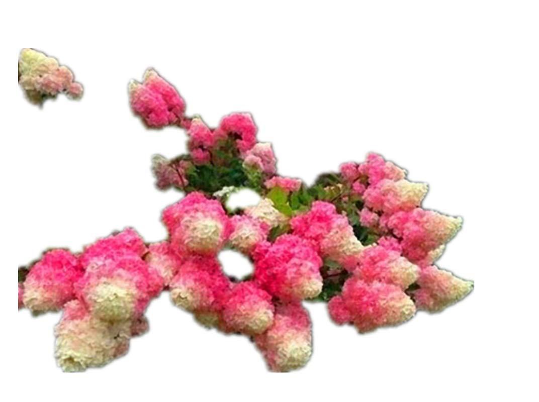 KINGDUO 20Pcs Hortensia Graines Vanille Fraise Graines De Fleurs pour Ext/érieur Maison Plantation Bonsa/ïs-Rouge