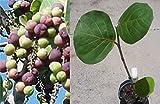 "22"" Sea Grape (coccoluba uvifera) Sapling, Extremely Salt and Sun Tolerant"