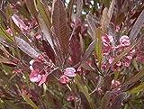 Dodonaea Viscosa Purpurea 5 Seeds #GR17