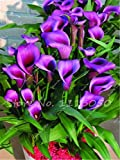 Seeds Shopp Rose Purple Calla Lily Seeds Potted Balcony Calla Lily Radiation Absorption Semenatsvety Garden Perennial Flower Seeds-50 Pcs