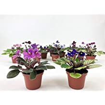"2"" Mini African Violets Set (2 Assorted Plants)"