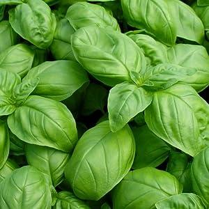 Basil Seeds - Large Leaf Italian Sweet Basil Heirloom Seeds ? ORGANIC NON-GMO Basil Seeds (100+ seeds) ? by PowerGrow Systems