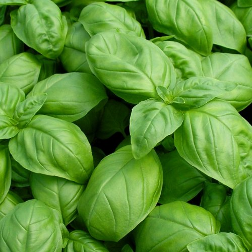 Leaf Italian Sweet Basil Heirloom Seeds ► ORGANIC NON-GMO Basil Seeds (100+ seeds) ◄ by PowerGrow Systems ()