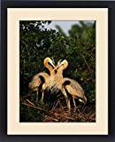 Framed Print of Great Blue Heron pair on nest in early morning light. USA, Florida, Venice