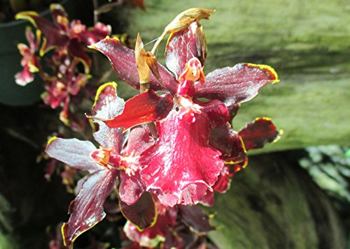 Odontocidium wildcat keep in partial to full shade.: ()