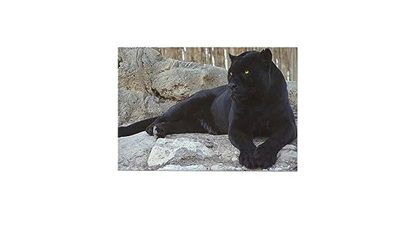 CafePress pantera negra imán del rectángulo - Multi-color estándar: Amazon.es: Hogar
