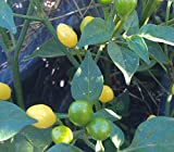 Cumari do Para Pepper Seeds - 5+ Rare Seeds + FREE Bonus 6 Variety Seed Pack - a $29.95 Value! Packed in FROZEN SEED CAPSULES for Growing Seeds Now or Saving Seeds For Years