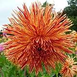 Supreme Rejman's Firecracker Cactus Dahlia Flowering Bulb, Plant, Start, Root