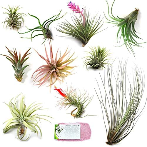 air-plant-shop-s-grab-bag-of-10-small