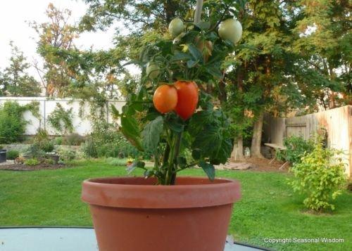 WINDOWBOX ROMA TOMATO SEEDS * 20 SEEDS * CANNING * SALADS ()