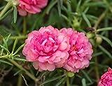 "Organic Flower seeds Purslane ""Terry Pink"" (Portulaca grandiflora) 100 Seeds."