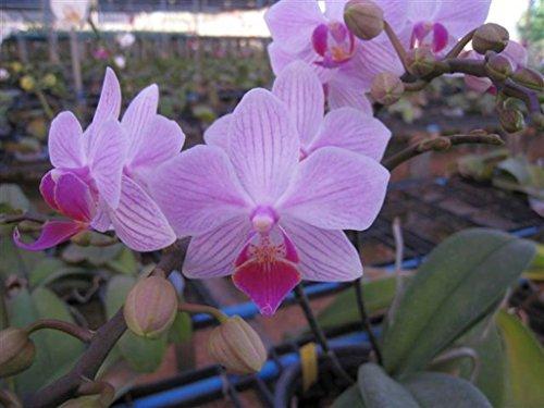 Orchid Tri (BIN Phalaenopsis Be Tris X Sampran Rose Seedling Pot sz varies S644SE)