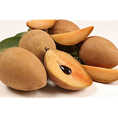 Sapodilla (Manilkara zapota L.): Tikal Favorite Fruit grafted : Garden & Outdoor