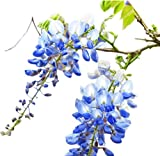Blue Moon Wisteria Vine - Live Plant - 3 Gallon Pot