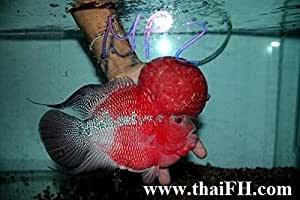 Amazon.com : Super Red Flowerhorn Fish for Sale (Louhan ...