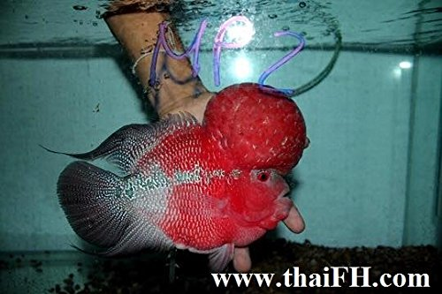 Super Red Flowerhorn Fish for Sale (Louhan, La Han, Feng Shui Fish) (Best Filter For Flowerhorn)