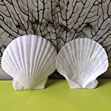 Scallop Shell Natural Seashell from Sea Beach for