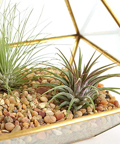 (NszzJixo9 Pyramid Vertical Metal Glass, Geometric Wall Hanging Terrarium Brass - Tabletop Succulent Air Plants Holder, Container Desktop Planter for Succulent Fern Moss)