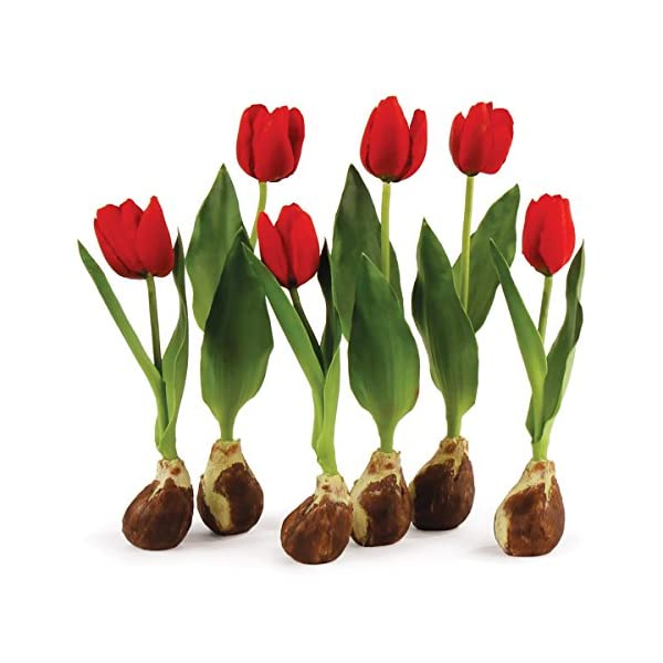 Napa Home & Garden Conservatory Set of 6, Standing Tulip Bulbs Red