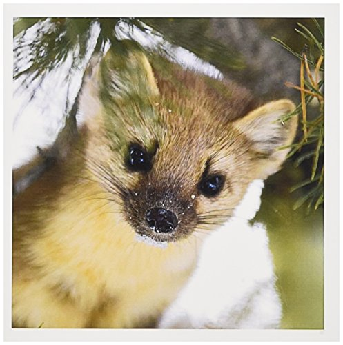 3dRose American Marten in Lodgepole Pine Tree Harriman SP Idaho USA Greeting Cards, Set of 6 (gc_191921_1)