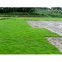 500pcs semillas de césped Zoysia tenuifolia (Corea) Semillas Evergreen Lawn j693