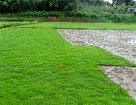 Zoysia Grass - 5