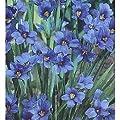 200+ Seeds, Blue-Eyed Grass (Sisyrinchium bellum)