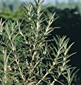 David's Garden Seeds Herb Rosemary D932BF (Green) 200 Open Pollinated Seeds