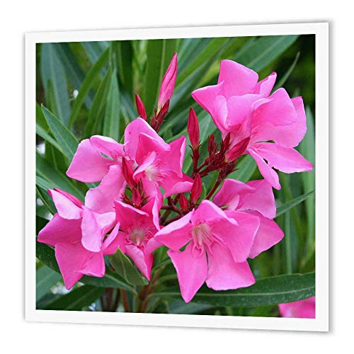 (3dRose ht_46849_1 Oleander Pink, Flower, Tree, Oleander, Blossom, Tropical Plant, Buds Iron on Heat Transfer, 8 by 8