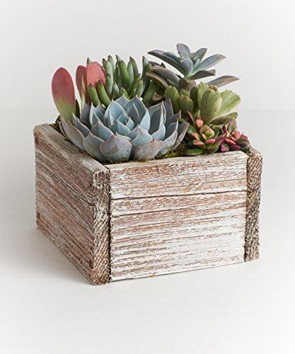 """Shop Succulents 6"""" Wood Succulent Planter - Comes Planted with Live Succulent Plants (White)"""