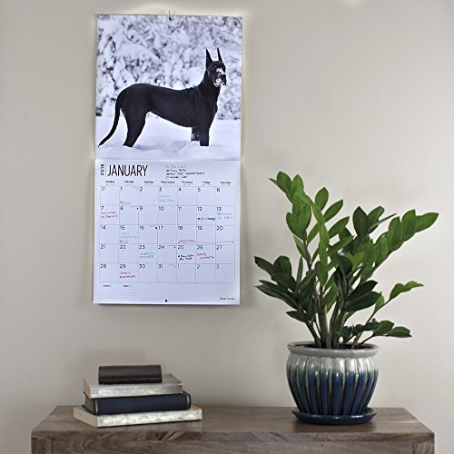 Great Danes 2018 16 Month Wall Calendar 12 x 12 inches Bright Day Calendars Publishing Photo #6
