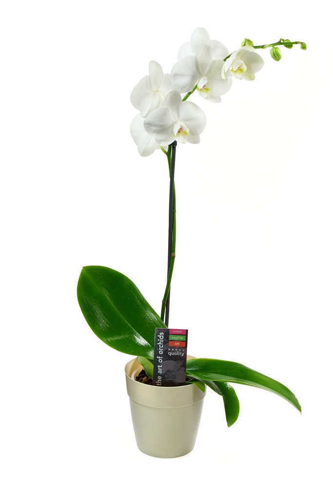 White Phalaenopsis Orchid Plant (18-24 Inches Tall) (1 Stem) in a White Euro Pot