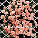100pcs Climbing Rose seeds, rare plant rose seeds - Best Reviews Guide