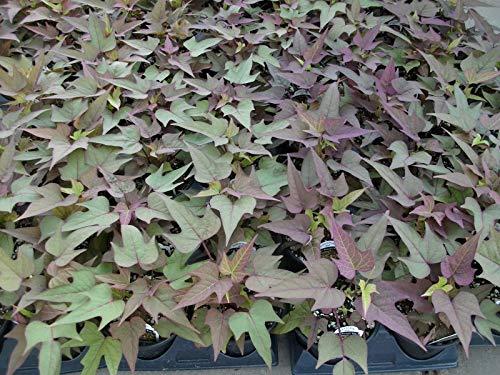 Ipomoea Sweet Potato Vine Blackie 20 Live Starter Plants - Plugs Home Garden