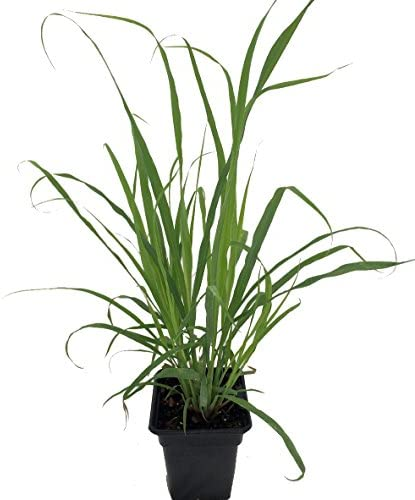 Plant *Edible//Medicinal Perennial* 8cm pot Cymbopogon flexuosus Lemongrass