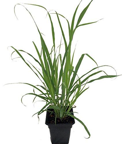 Lemon Grass Herb Plant  Cymbopogon  Also Repels Mosquitoes  Quart Pot