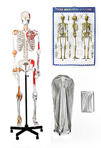 "Vision Scientific VAS215-DC Full Size, All-In-One, Human Skeleton with Muscles & Ligaments, 67"" (170cm) – Includes a Thick Zip-Up Dust Cover and a Colored Skeleton - Diagram Arm Of"