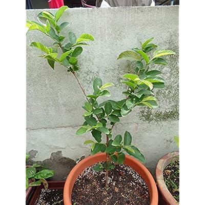 Guava Strawberry (Psidium cattleyanum) Seeds by Robsrareandgiantseeds UPC0764425786108 Non-GMO, Organic, Historic Plants, 1032 Package of 15 Seeds : Garden & Outdoor
