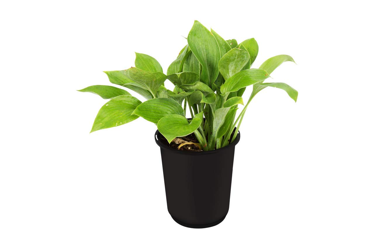 The Three Company Beautiful Live Flowering 7'' Hosta ((4 Per Pack), 7'' Pot Size, Assorted Colors by The Three Company (Image #2)