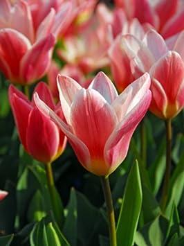 20 Bulbs Autumn Planting//Spring Flowering Bulbs JBA Snowdrop Bulbs