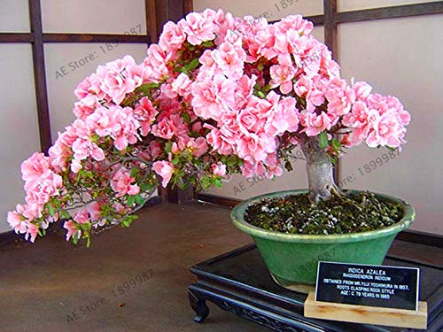 New 2018!Bonsai Tree Japanese Sakura Plant Rare Japanese Cherry Blossoms Flowers Flores in Bonsai DIY Home Garden Mini Bons (Japanese Cherry Blossom Tree Seeds For Sale)