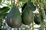 Details About Avocado Dwarf (Little Cado) Grafted Plants