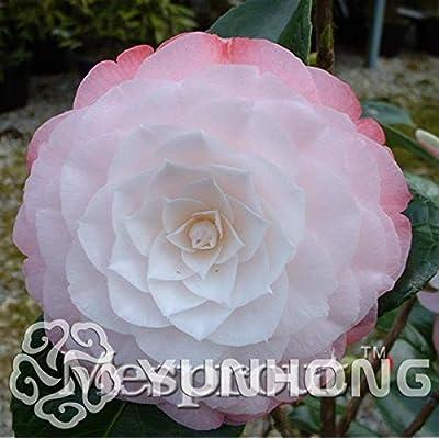 Golden Yellow Rare Camellia Nitidissima Bonsai 50PCS, Magical Oriental Yellow Camellia Shrub Bonsai, Theaceae Family Bonsai - (Color: 6): Garden & Outdoor