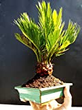 Cycas revoluta Bonsai / Japanese sago palm