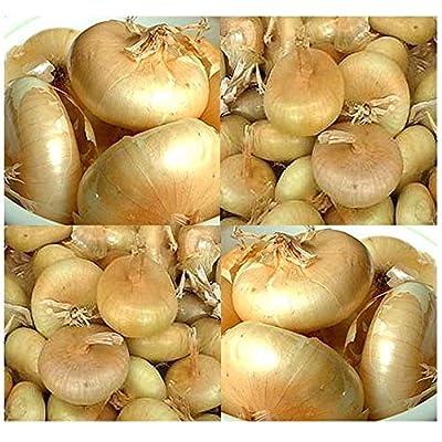 Verazui CIPOLLINI BORRETTANA Ultimate Onion Seeds - ItalianSweet, Mild Delicious - The Original Cipollini Onion - 105 Days (Pkt Size): Garden & Outdoor