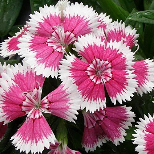 (Dianthus - Floral Lace Picotee - 6 Live Starter Plants - Perennials)
