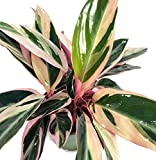 Tricolor Prayer Plant - Stromanthe triostar - Easy to Grow House Plant - 4'' Pot