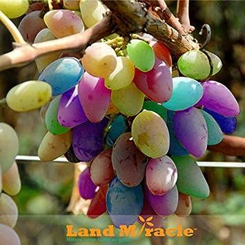 Lieblings Pflanzen der Regenbogen-Trauben-Samen, 30Seeds / Lot Seltene Arten &GS_45