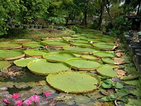 5 Fresh Seeds Victoria Amazonica Giant Waterlily Flower Plants RK